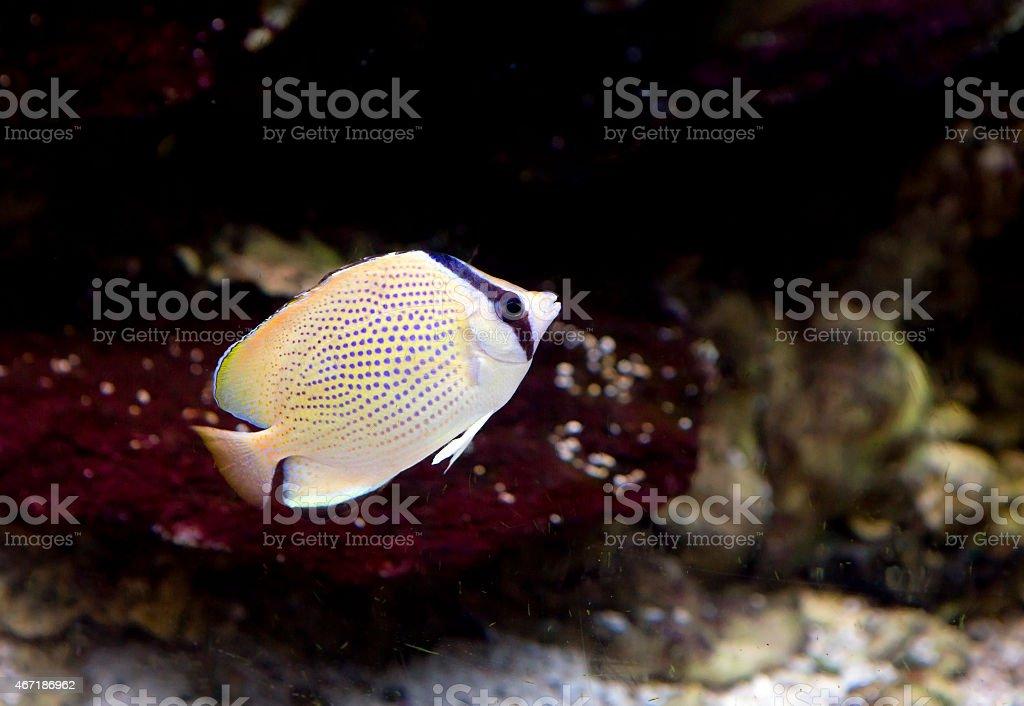Fish-lemon butterfly stock photo