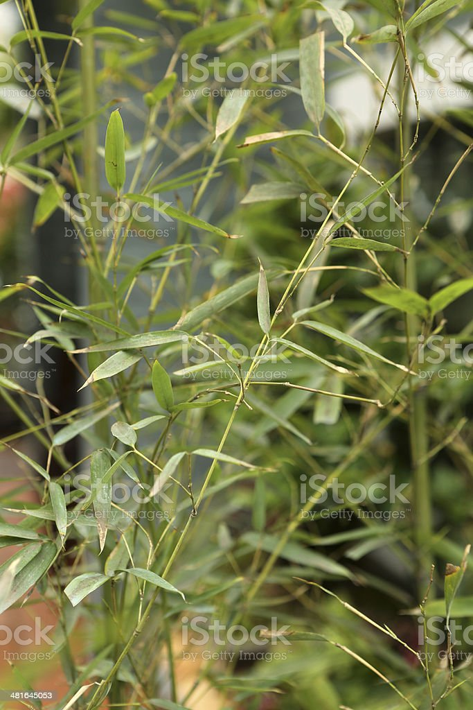 Fishpole Bamboo / Phyllostachys Aurea stock photo