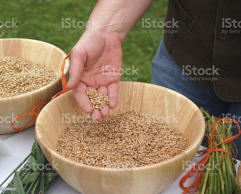 Fistful of Corn royalty-free stock photo