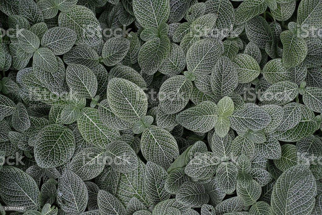 Fittonia verschaffeltii nerve plant close-up stock photo