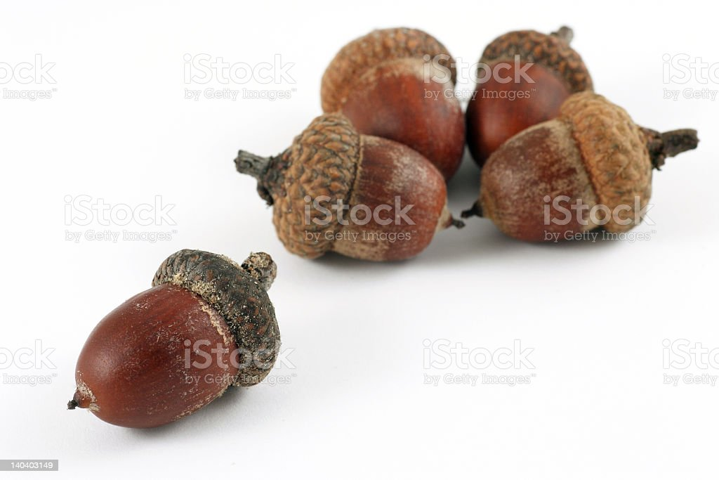 Five acorns isolated on a white background stock photo