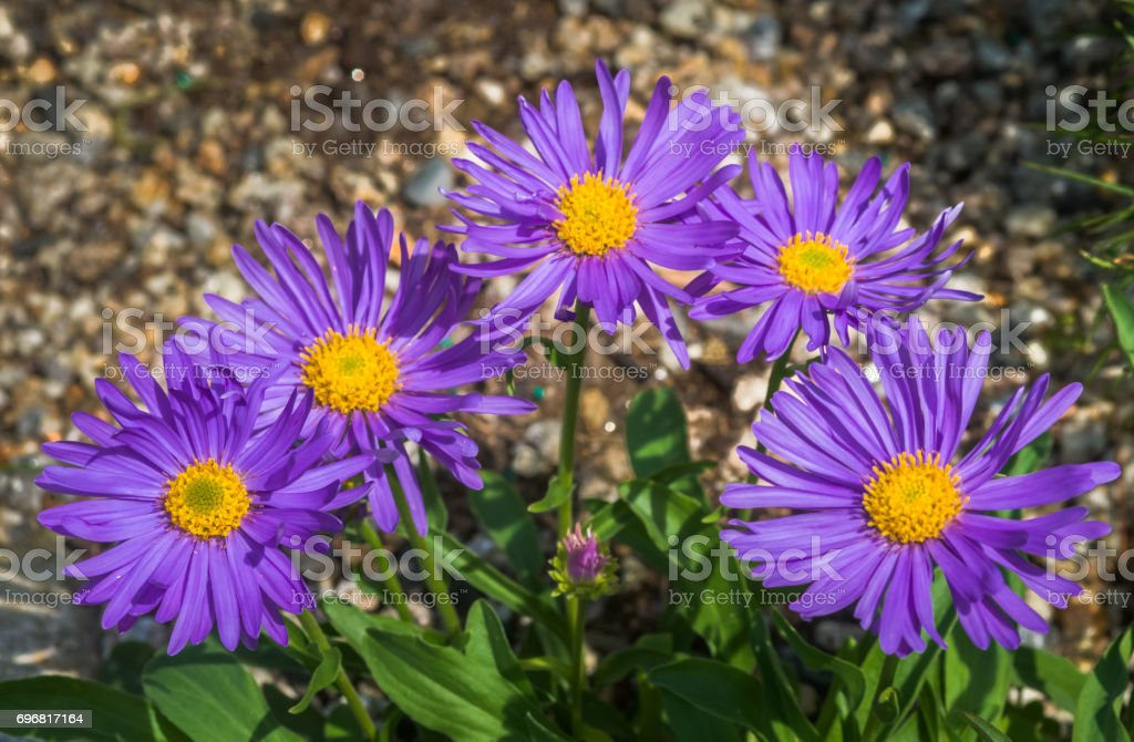 Five Alpine Asters stock photo
