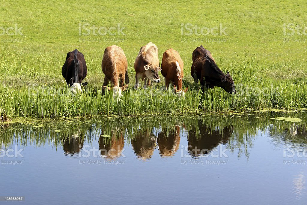 Five Angus, Friesian, Guernsey and Jersey cows / calves drinking stock photo