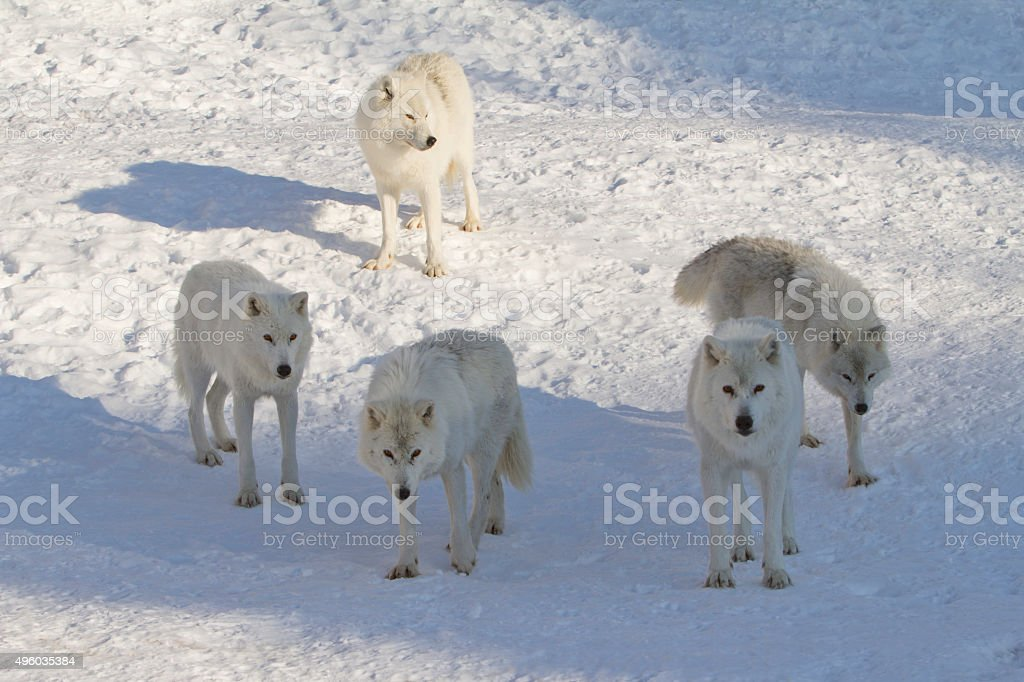 Five Arctic Wolves on Snow in Late Afternoon Sun stock photo