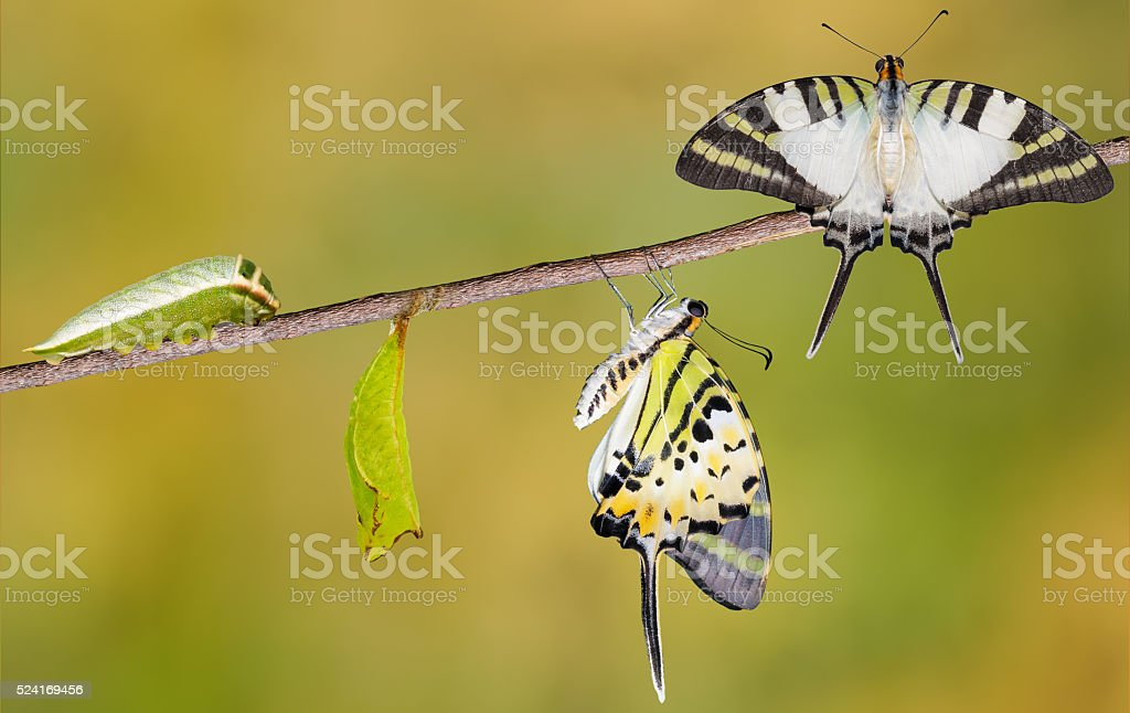 Five bar swordtail butterfly life cycle stock photo