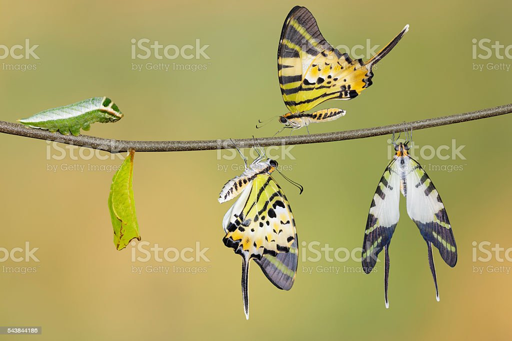 Five bar swordtail butterfly life cycle (antiphates pompilius) stock photo