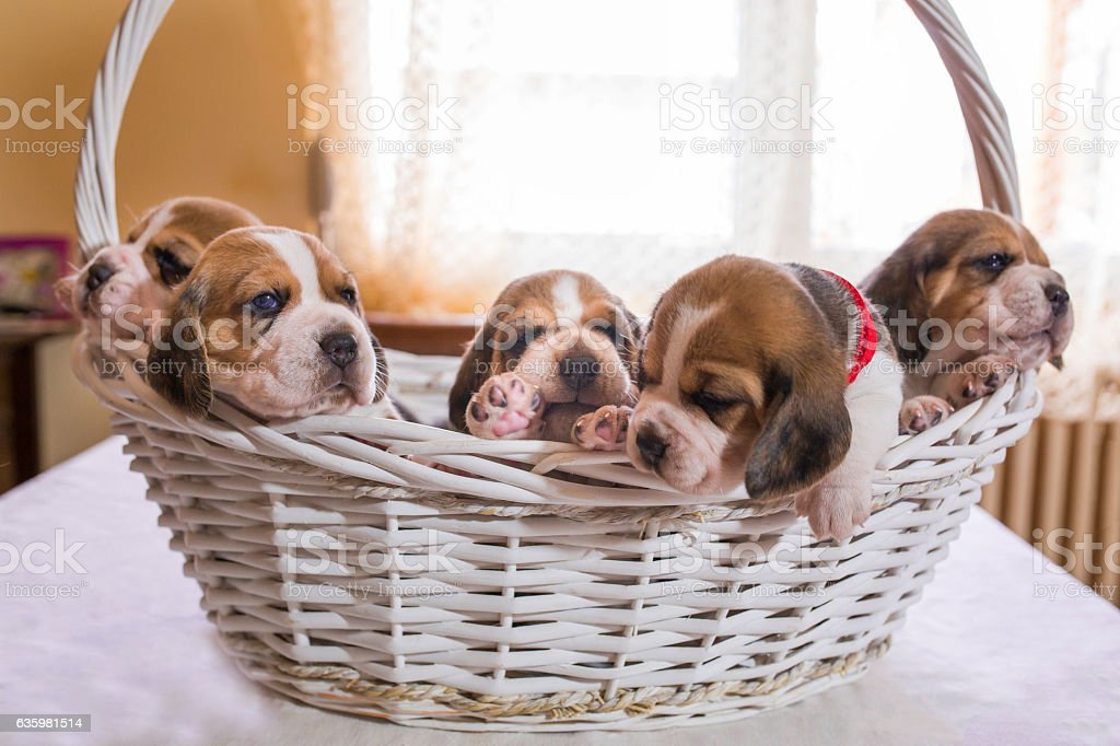 Five beagle puppies in a basket. stock photo