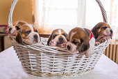 Five beagle puppies in a basket.