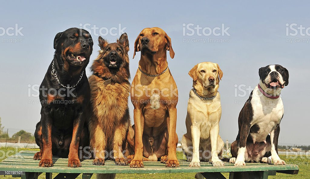 five big dogs royalty-free stock photo