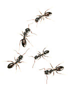 five black ants