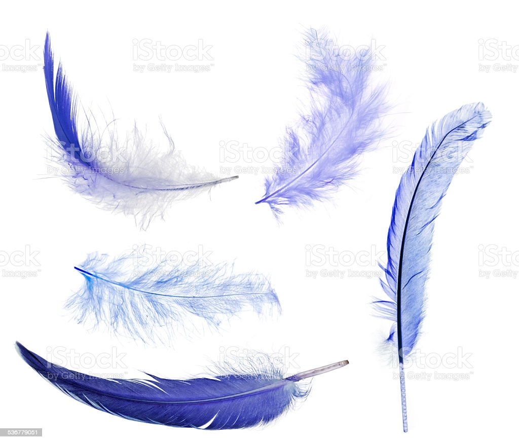 five blue feathers isolated on white stock photo