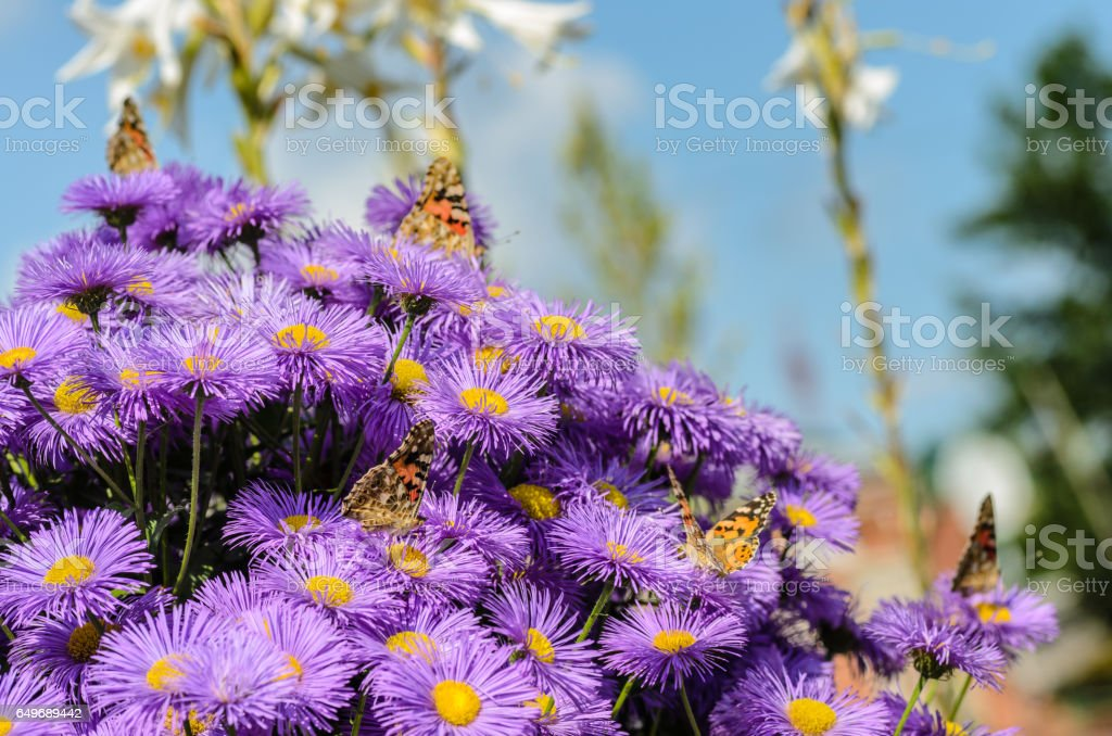 Five butterflies and bush of purple asters stock photo