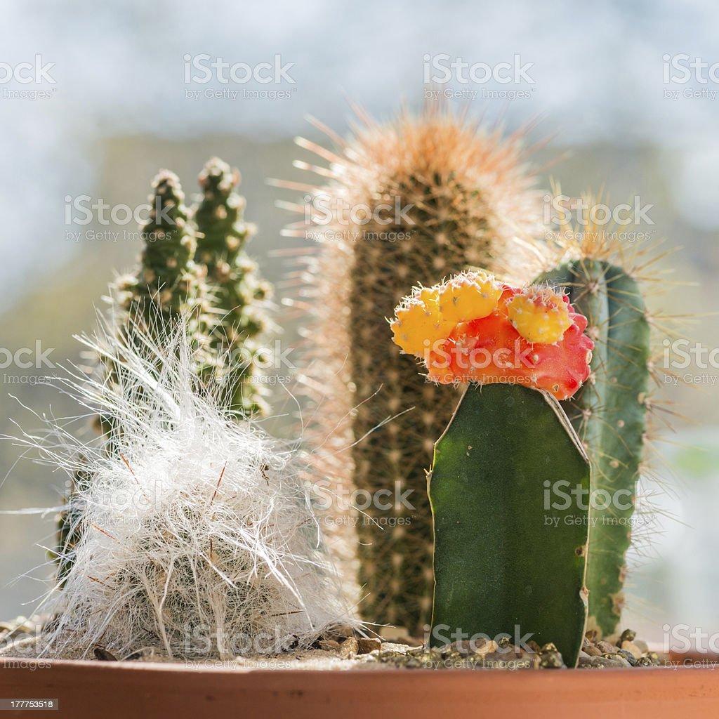 Five Cactus royalty-free stock photo