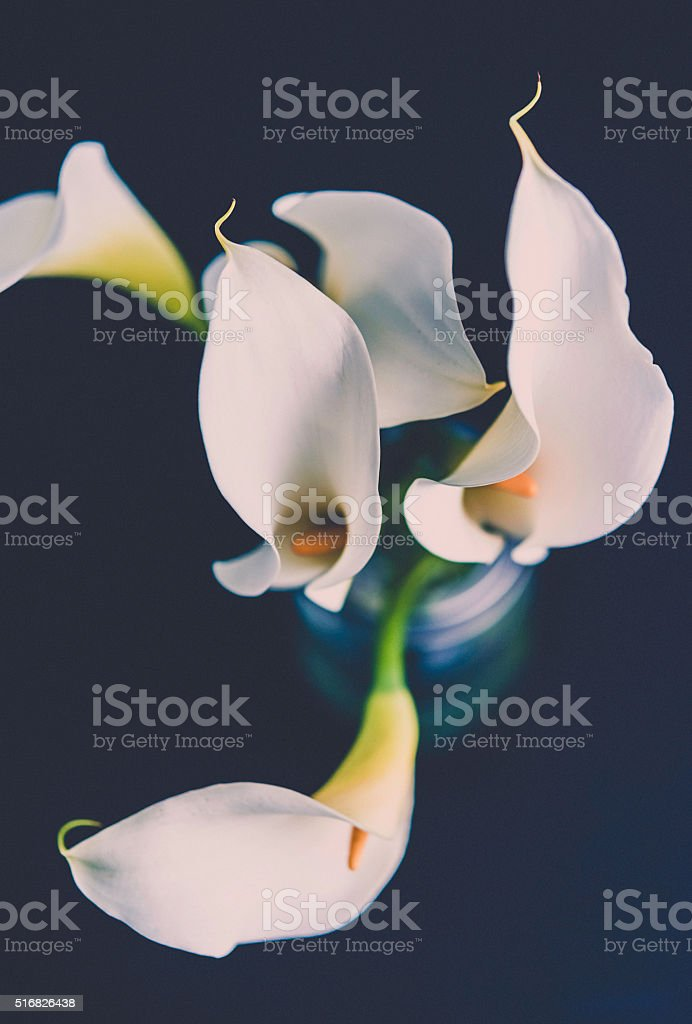 Five calla lily blooms in vase against black background stock photo