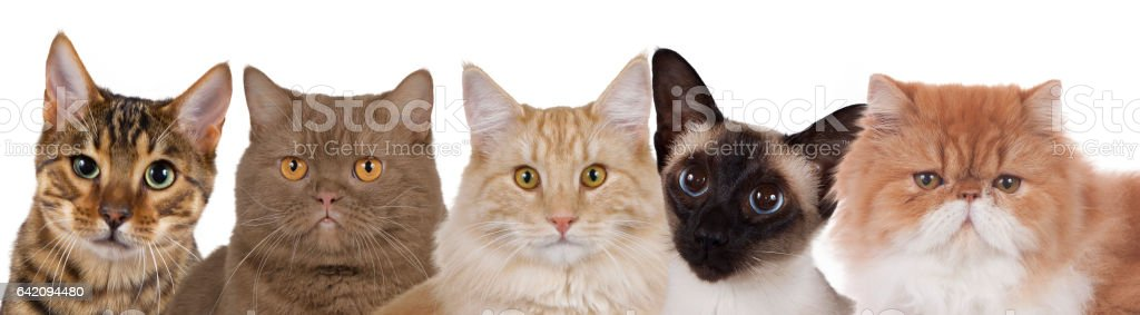 Five cat faces in a row isolated stock photo