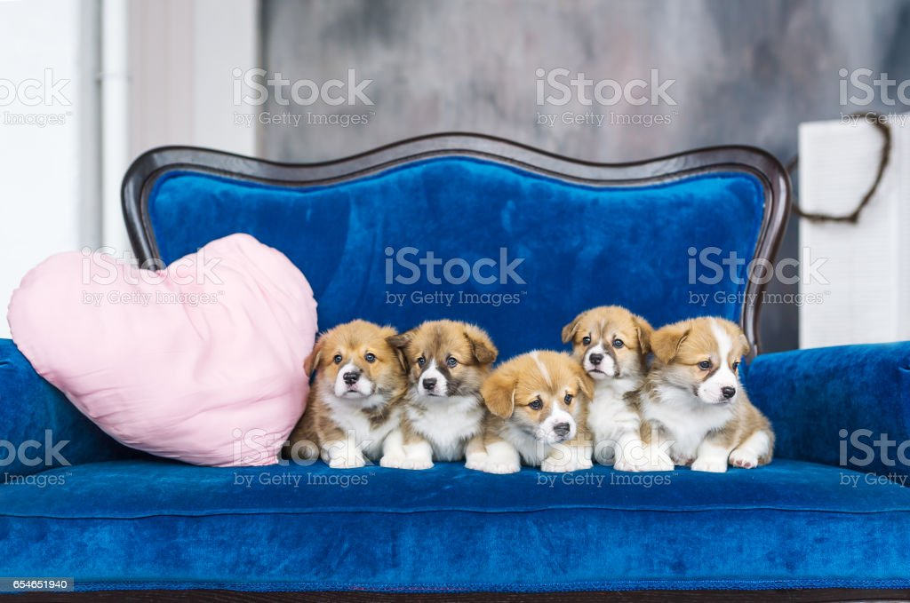 Five charming little puppies on a blue sofa. Holiday of spring. March 8 stock photo