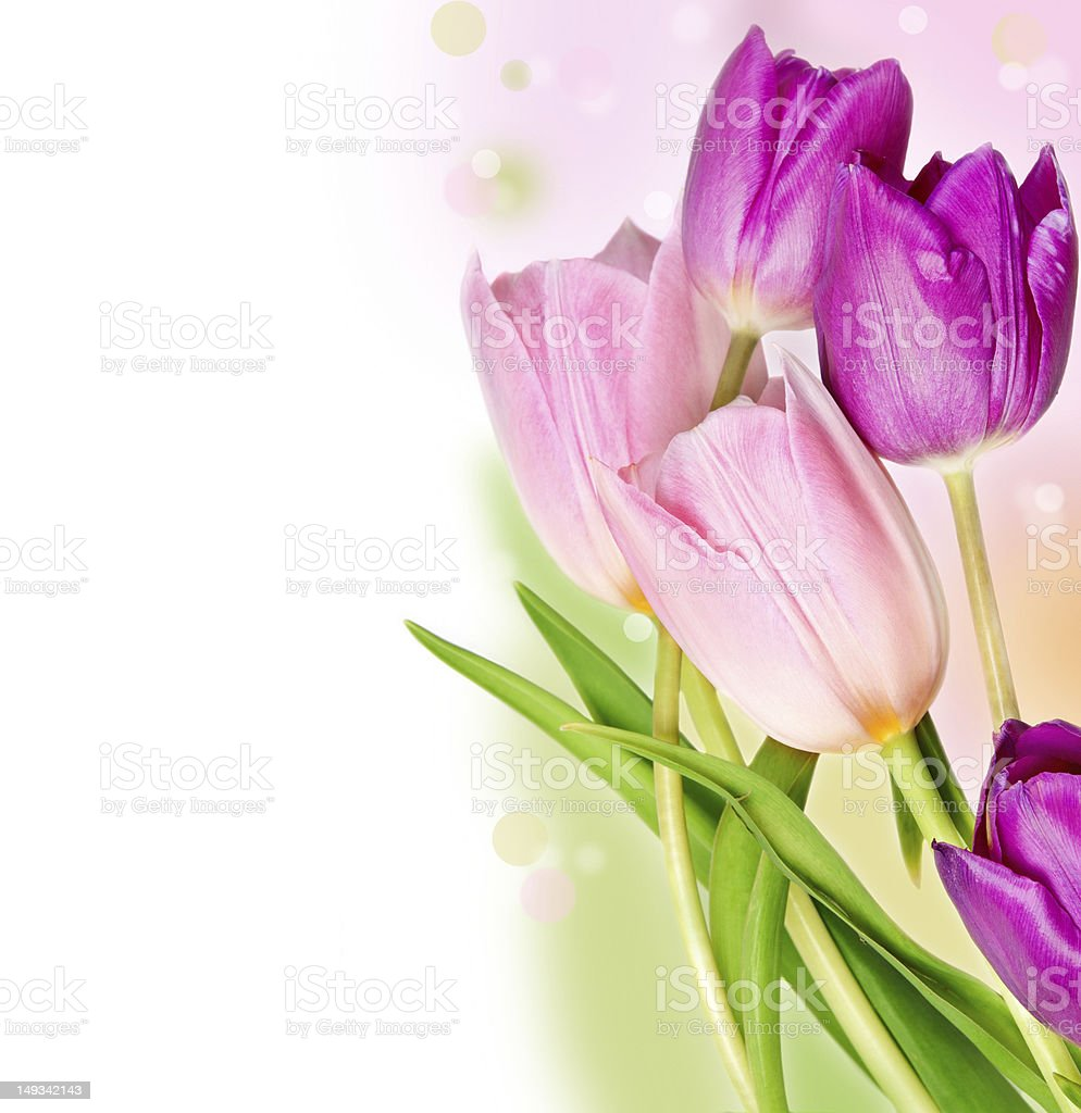 Five colorful tulips royalty-free stock photo