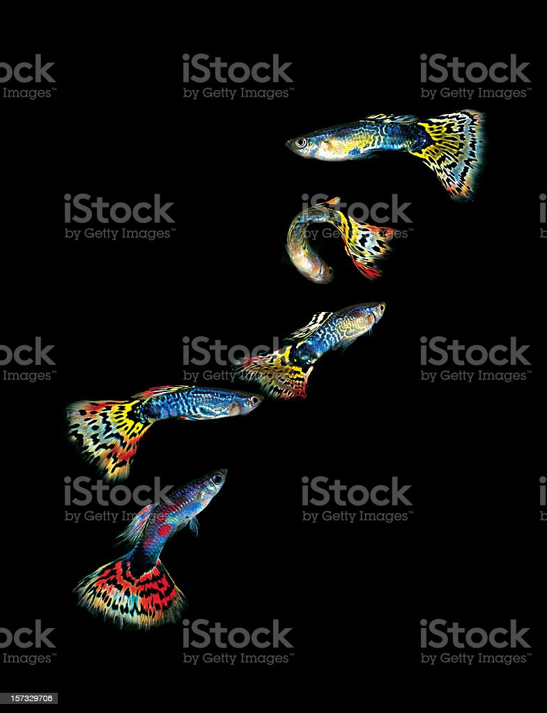 Five colourful Guppies. stock photo