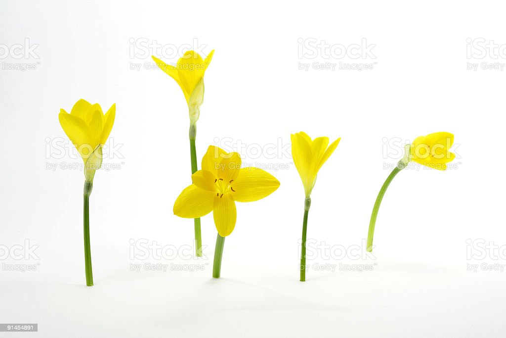 Five Crocuses royalty-free stock photo