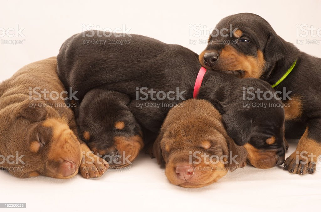 Five Dobermann puppies royalty-free stock photo