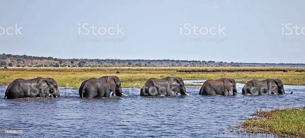 Five elephants crossing the Chobe River to Sududu island stock photo