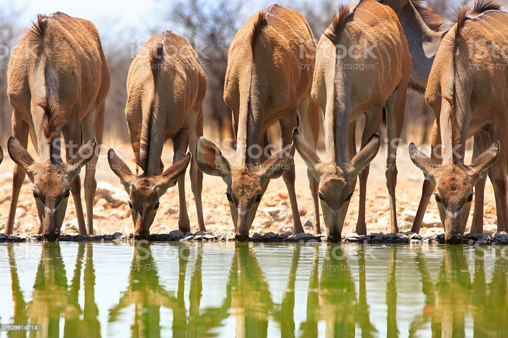 Five Female Kudu with heads down in a line stock photo