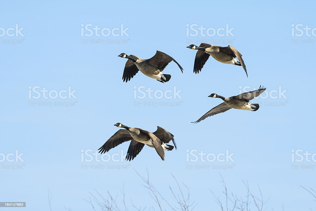 Five geese in flight royalty-free stock photo