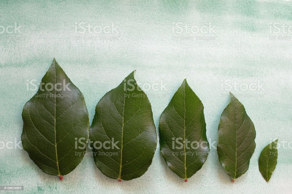 Five green leaves stock photo