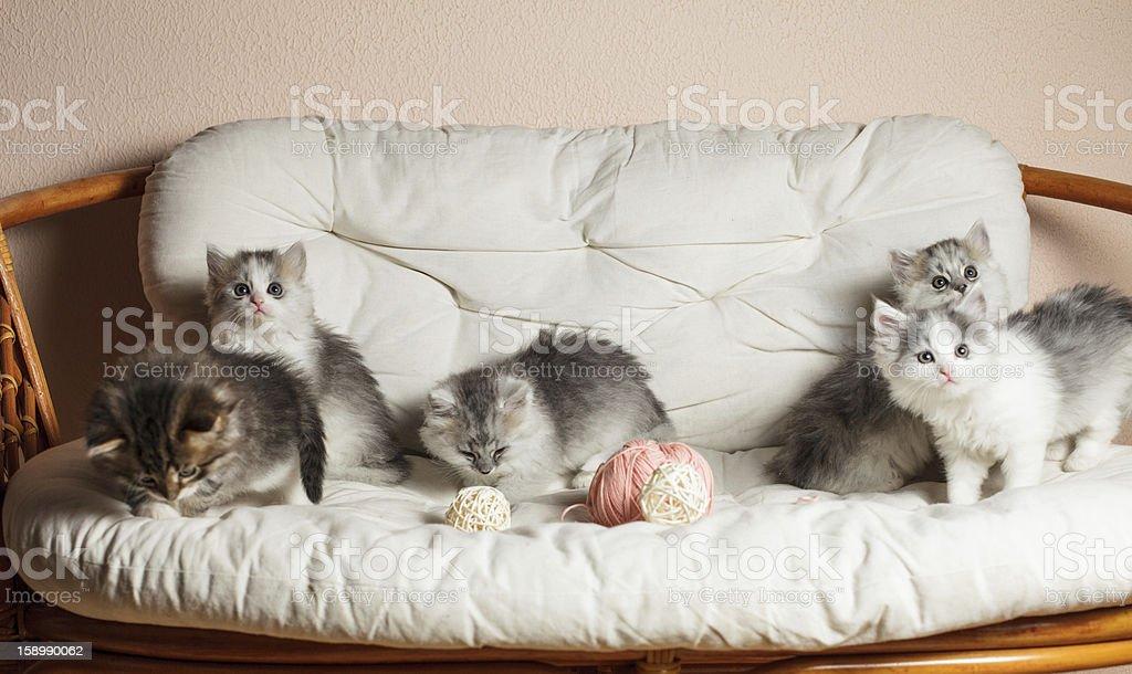 Five grey kittens royalty-free stock photo