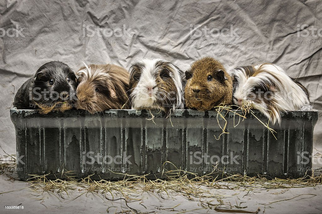 five guinea pigs in a flower-box stock photo