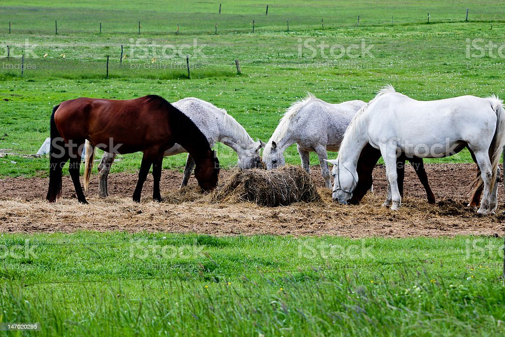 five horses eat royalty-free stock photo