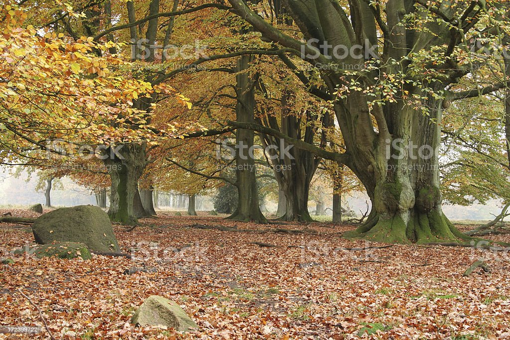 Five hundred years old beech trees in the autumn. stock photo