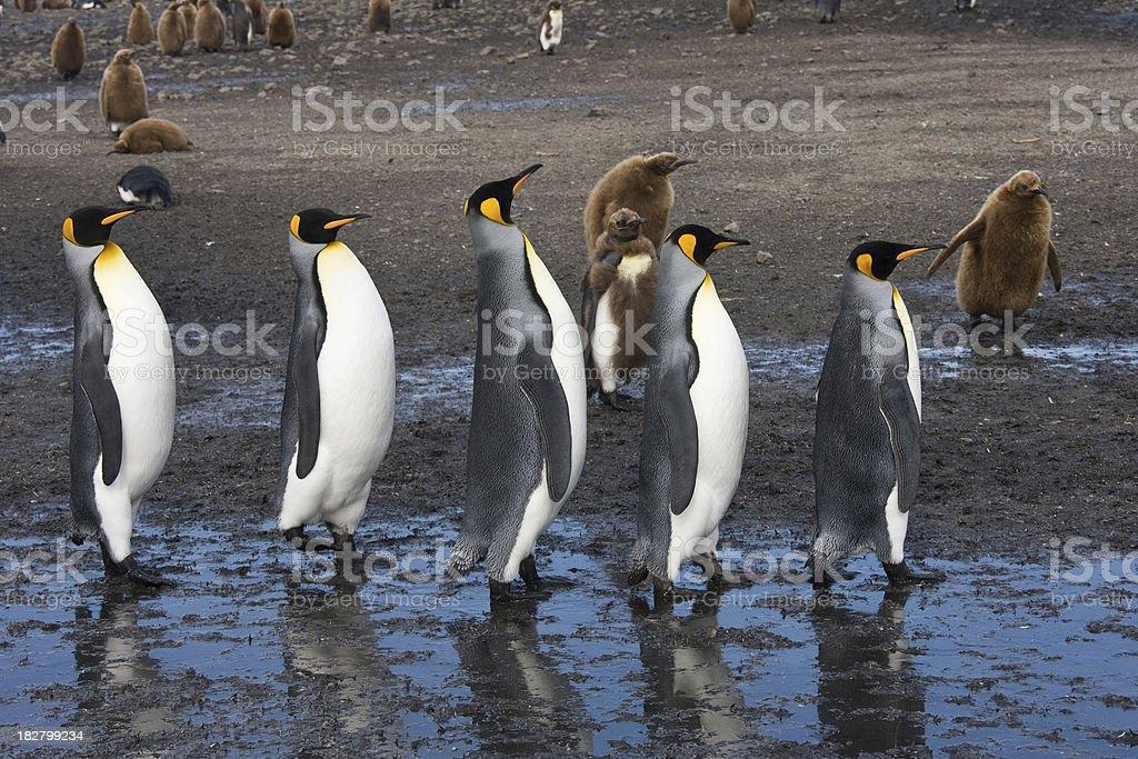 Five King penguin walking on the beach of South Georgia stock photo