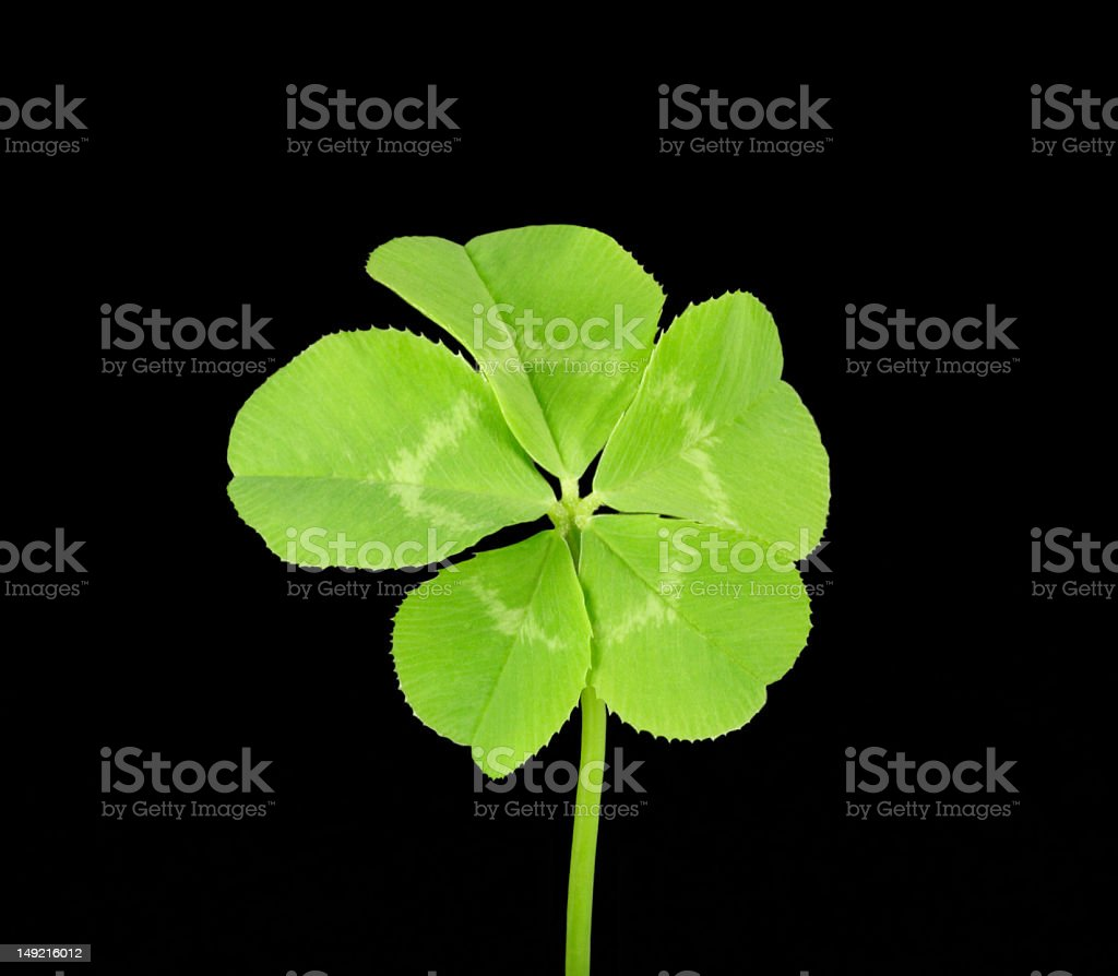 Five Leaf Clover stock photo