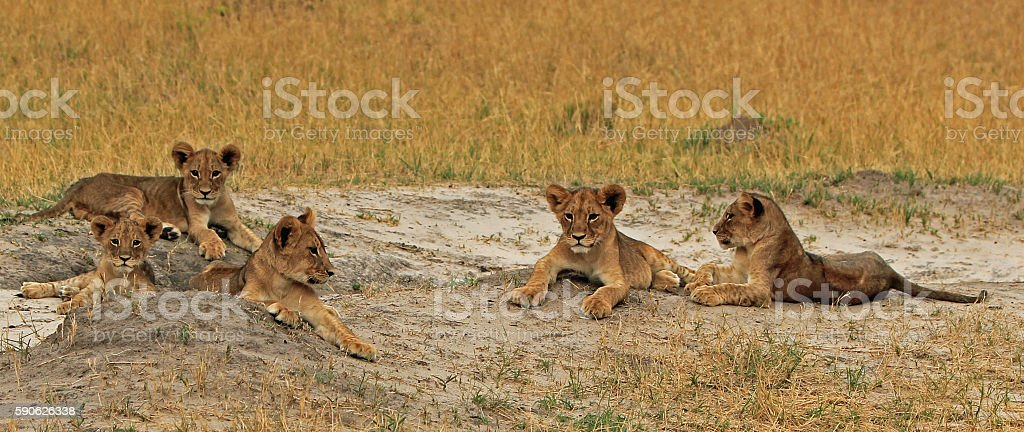 five lion cubs resting in Hwange National Park stock photo
