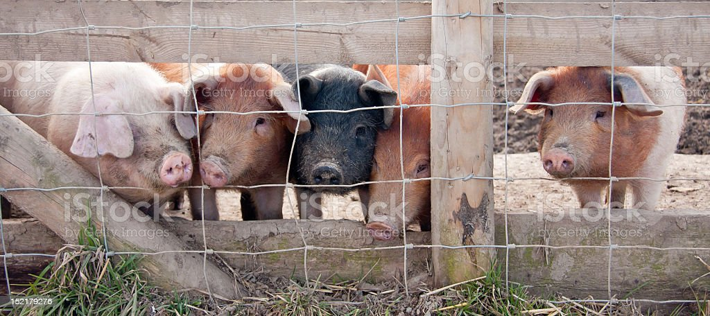 Five little piggies went to market royalty-free stock photo