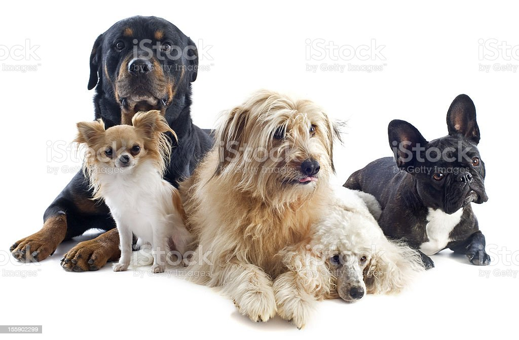 Five mixed breed dogs posing for a photo together stock photo
