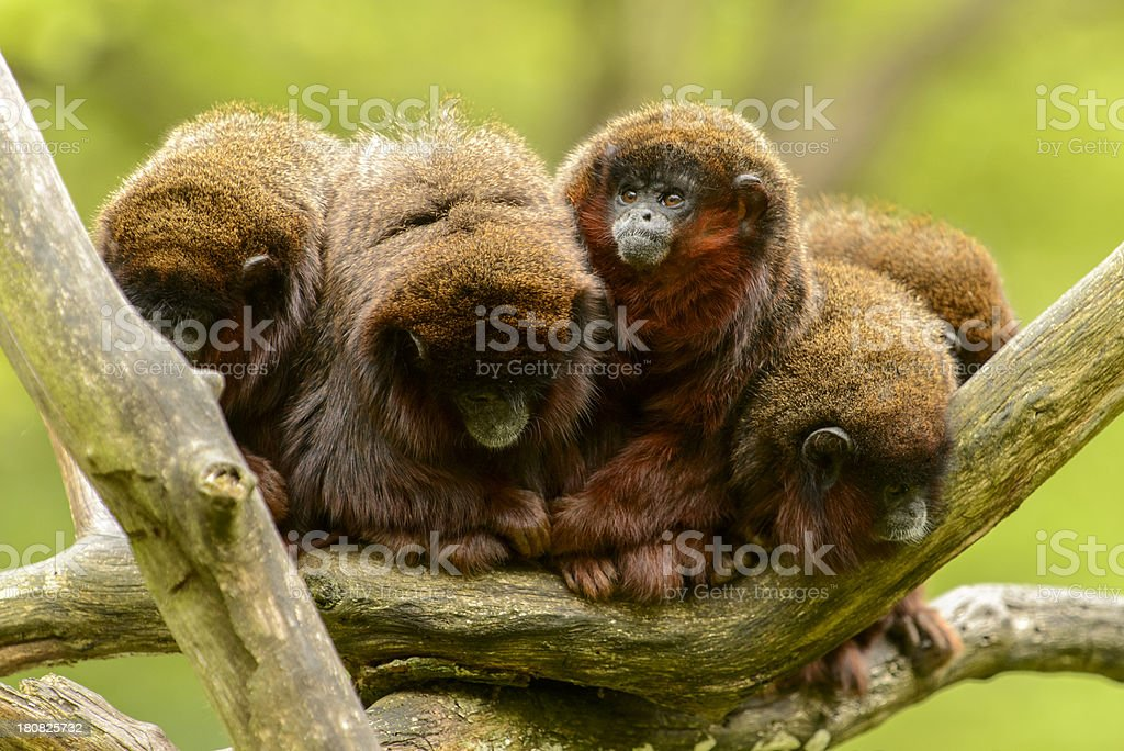 Five monkees in a tree stock photo