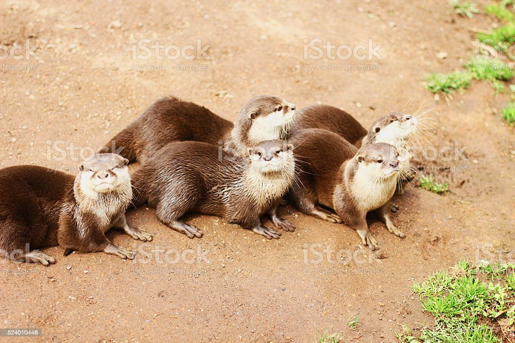 Five Oriental Small-clawed Otters sitting on the Ground stock photo