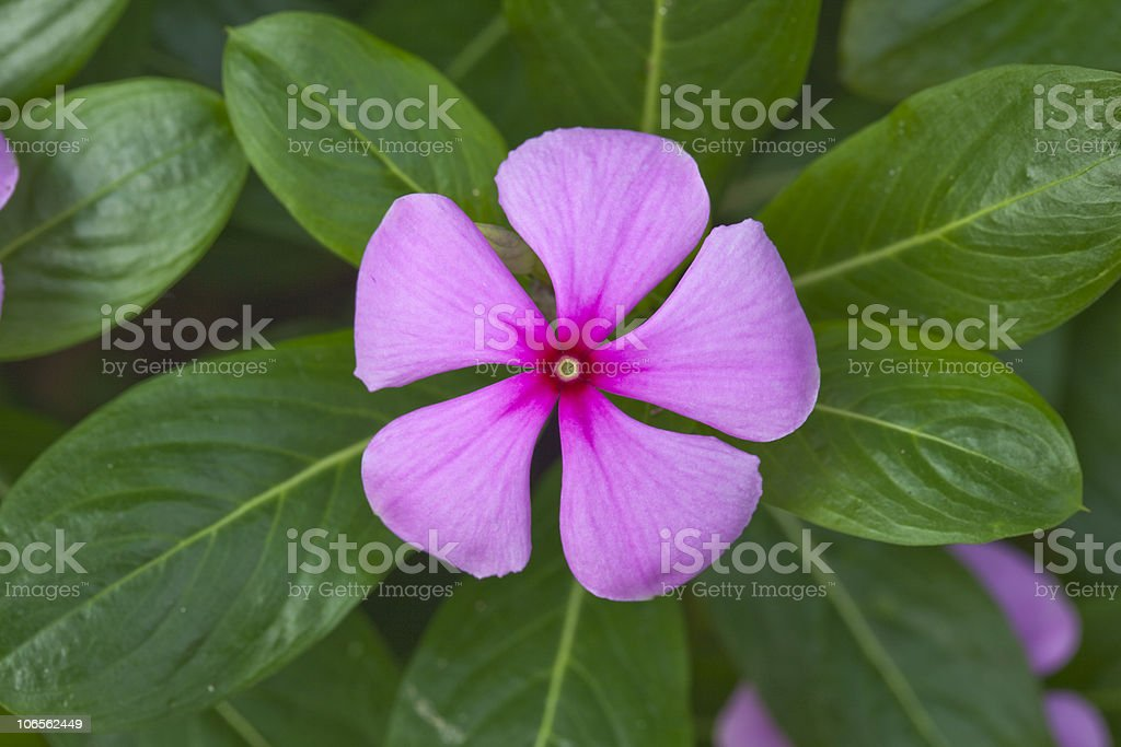 five petal flower stock photo