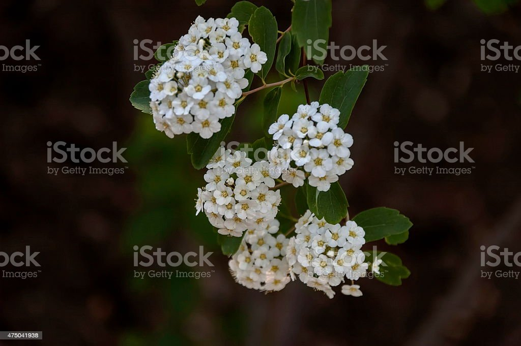 Five petal white flower shrub in spring stock photo