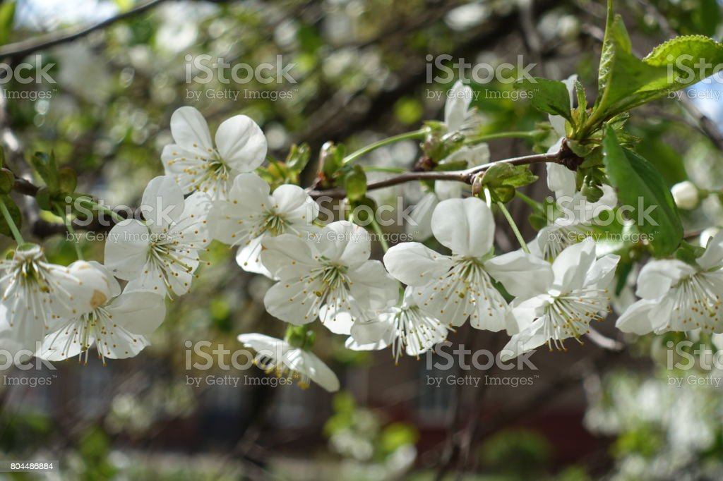 Five petaled cherry flowers pendent on peduncles stock photo