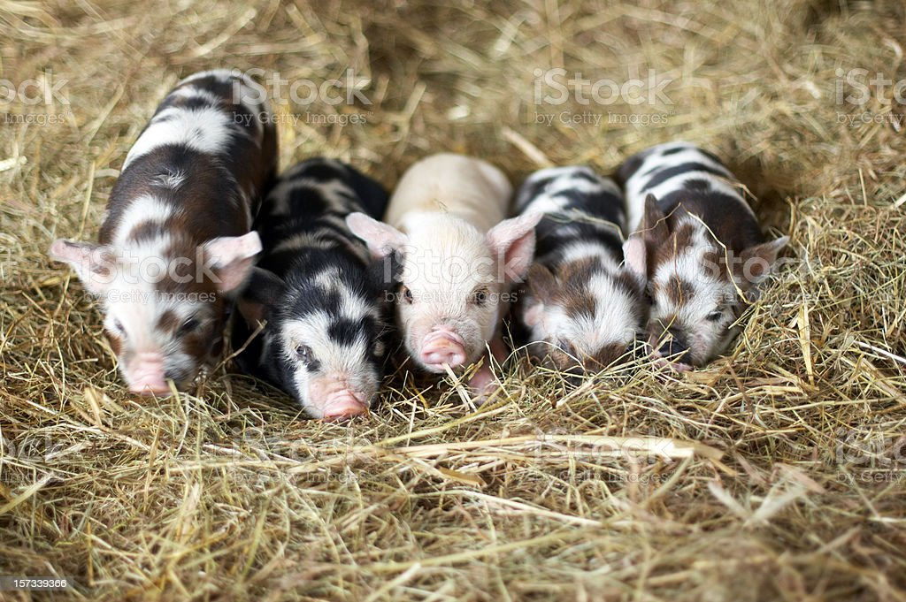 Five piglets stock photo