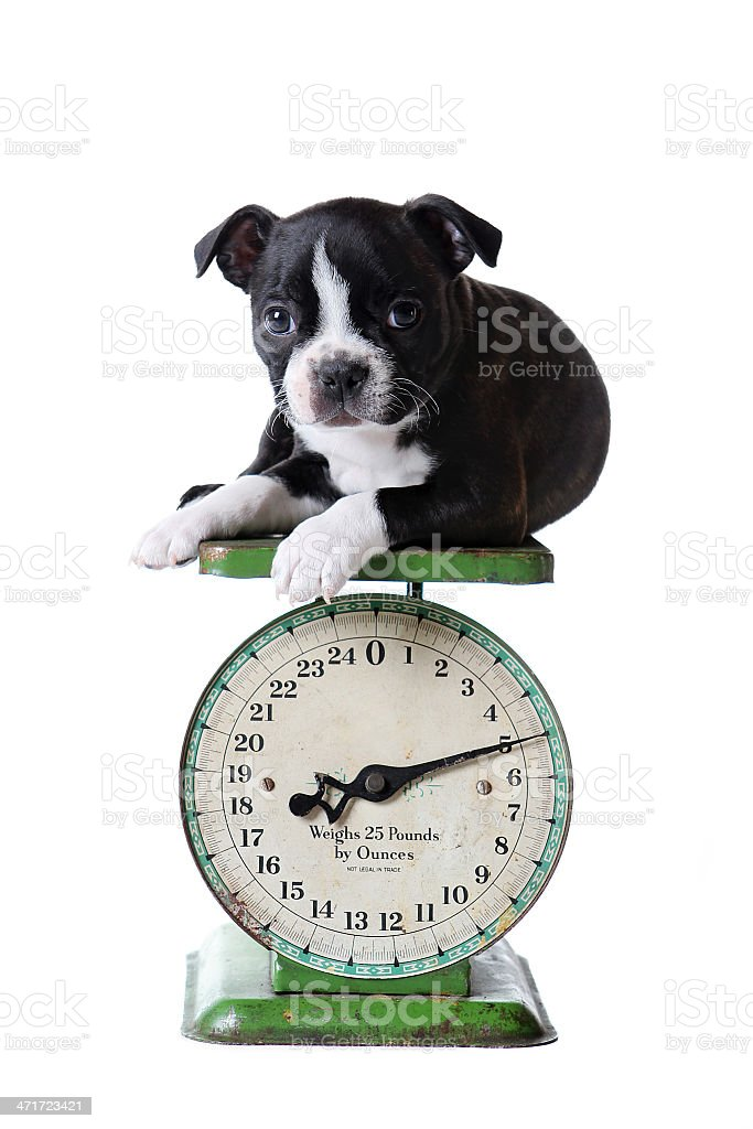 Five Pound Puppy On Scale royalty-free stock photo