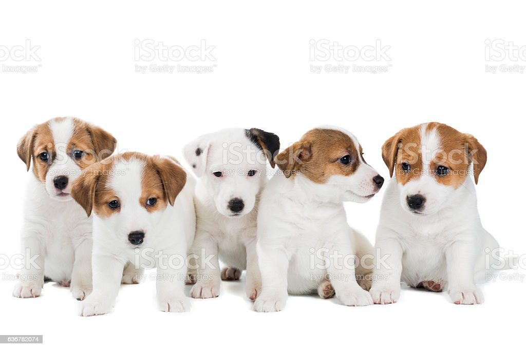 five puppies Jack Russell Terrier isolated on white background stock photo