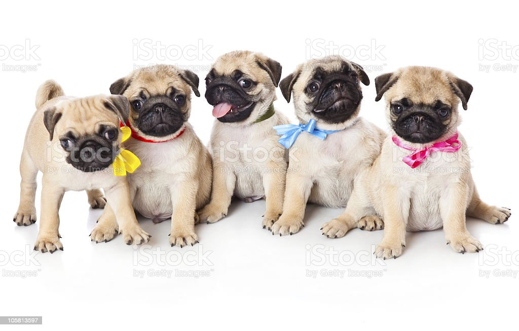 Five puppies of pug stock photo