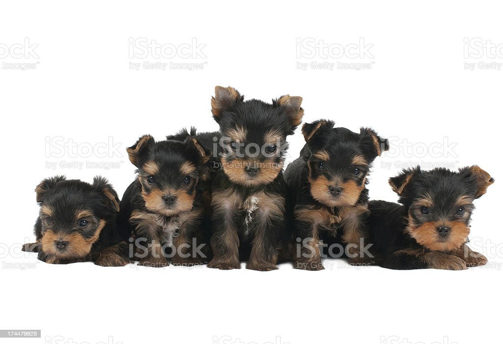 Five puppies royalty-free stock photo