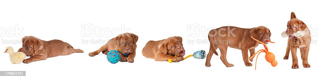 Five puppies playing with different type of toys isolated royalty-free stock photo