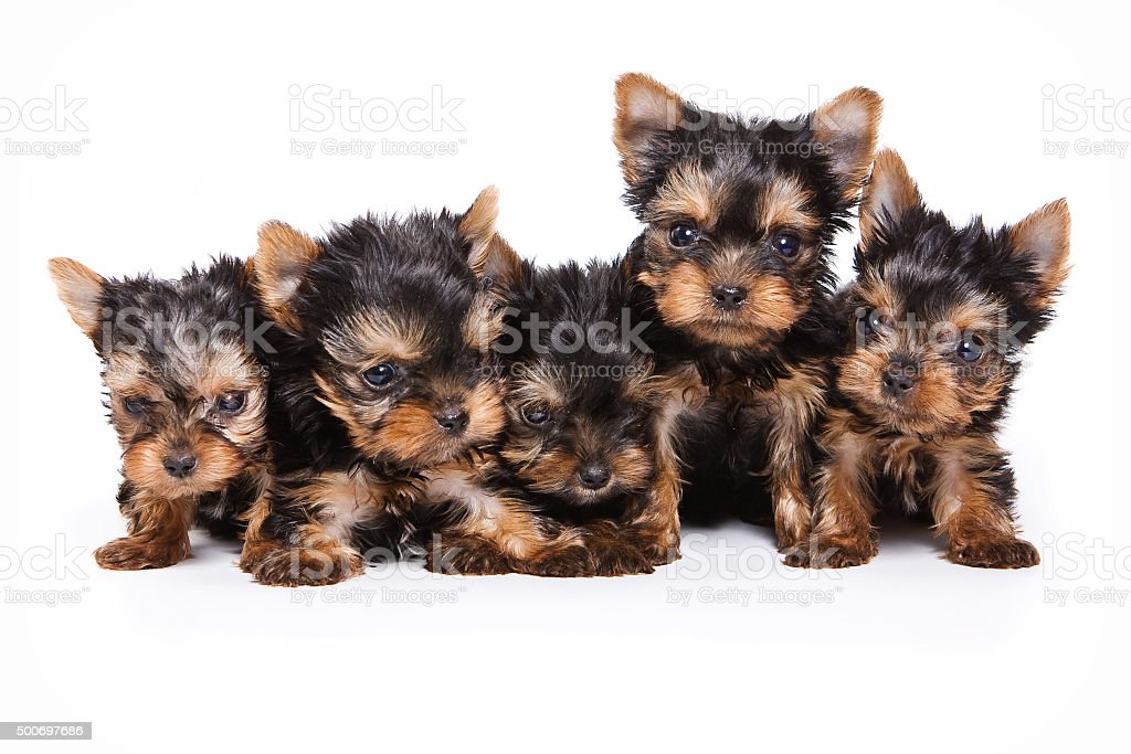 Five puppies Yorkshire Terrier (isolated on white) stock photo