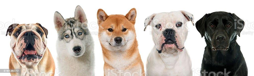 five purebred dogs stock photo